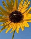Una abeja del manosear que chupa el néctar de un girasol grande Imagen de archivo