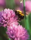 Una abeja del manosear recoge el polen de una flor de la cebolleta Foto de archivo libre de regalías