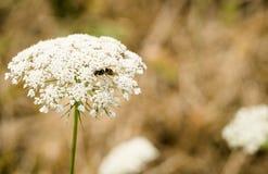Una abeja del manosear se sienta encima de una flor salvaje blanca Fotografía de archivo libre de regalías