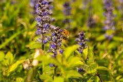 Una abeja del manosear sube en una flor púrpura Imagen de archivo