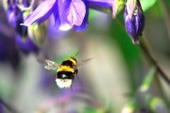 Una abeja del vuelo Fotografía de archivo