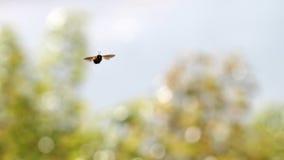 Una abeja del vuelo Foto de archivo libre de regalías