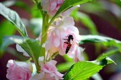Una abeja del vuelo está intentando chupar la miel de la flor rosada hermosa Fotos de archivo libres de regalías