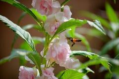 Una abeja del vuelo está intentando chupar la miel de la flor rosada hermosa Imagen de archivo