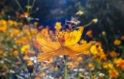 Una abeja del vuelo sobre la flor Fotos de archivo libres de regalías