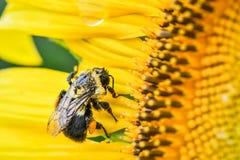 Una abeja destartalada en un girasol floreciente, jaspe, Georgia, los E.E.U.U. imagenes de archivo