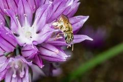 Una abeja dulce minúscula en una flor Fotos de archivo