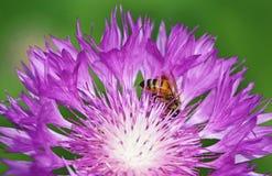 Una abeja en cierre del aciano para arriba Imagenes de archivo