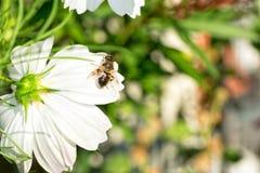 Una abeja en el bipinnatus blanco del cosmos o la flor mexicana del aster Fotos de archivo libres de regalías