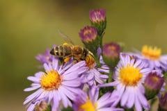 Una abeja en el crisantemo de la flor Imagenes de archivo