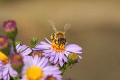 Una abeja en el crisantemo de la flor Fotografía de archivo