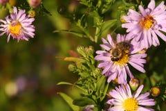 Una abeja en el crisantemo de la flor Foto de archivo