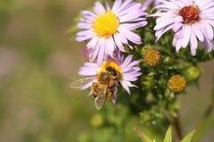 Una abeja en el crisantemo de la flor Imagen de archivo libre de regalías