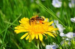 Una abeja en el diente de león Imágenes de archivo libres de regalías