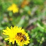 Una abeja en el diente de león Fotografía de archivo libre de regalías