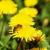 Una abeja en el diente de león Fotos de archivo