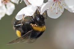 Una abeja en el flor de la primavera Foto de archivo libre de regalías