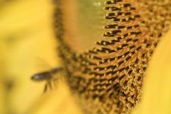 Una abeja en el girasol Fotografía de archivo