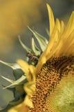 Una abeja en el girasol Fotografía de archivo libre de regalías
