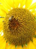 Una abeja en el girasol hermoso Foto de archivo
