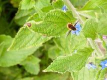Una abeja en el movimiento sobre una planta sus alas que se mueven como ella recoge Fotografía de archivo