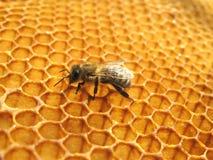 Una abeja en el panal Fotos de archivo