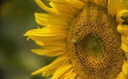 Una abeja en el polen amarillo de una flor de un girasol Fotografía de archivo libre de regalías