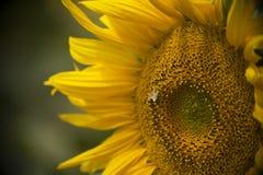 Una abeja en el polen amarillo de una flor de un girasol Imagen de archivo libre de regalías