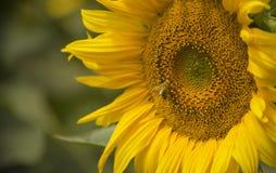 Una abeja en el polen amarillo de una flor grande de un girasol Foto de archivo