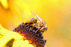 Una abeja en el trabajo Imágenes de archivo libres de regalías