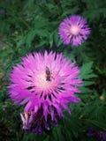 Una abeja en una flor Imagen de archivo