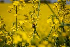 Una abeja en una flor Imagen de archivo libre de regalías