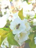 Una abeja en una flor blanca recolecta el néctar Alrededor de la flor son las hojas verdes El néctar amarillo se establece brilla Imágenes de archivo libres de regalías