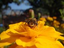 Una abeja en una flor en cierre del tiempo de primavera encima de la foto Imagenes de archivo