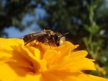 Una abeja en una flor en cierre del tiempo de primavera encima de la opinión de la foto Fotografía de archivo