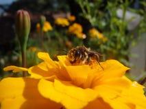 Una abeja en una flor en cierre del tiempo de primavera encima de la visión Fotos de archivo