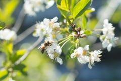 Una abeja en una flor de cerezo Foto de archivo libre de regalías