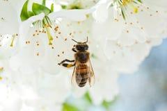 Una abeja en una flor de cerezo recoge la antera y poliniza un árbol Fotografía de archivo