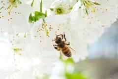 Una abeja en una flor de cerezo recoge la antera y poliniza un árbol Fotos de archivo libres de regalías