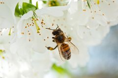 Una abeja en una flor de cerezo recoge la antera y poliniza un árbol Fotografía de archivo libre de regalías