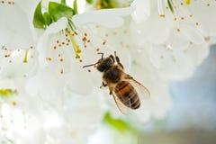 Una abeja en una flor de cerezo recoge la antera y poliniza un árbol Foto de archivo