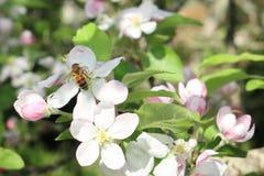 Una abeja en una flor de las flores de cerezo blancas Fotos de archivo