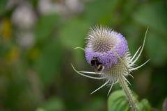 Una abeja en una flor del cardo Imagenes de archivo