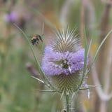 Una abeja en una flor del cardo Fotografía de archivo libre de regalías