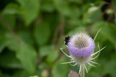 Una abeja en una flor del cardo Imagen de archivo