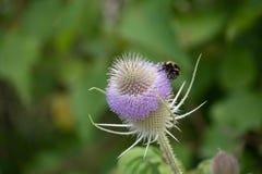 Una abeja en una flor del cardo Fotos de archivo libres de regalías
