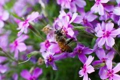 Una abeja en una flor en el verano o la primavera, primer Foto macra Imagen de archivo libre de regalías