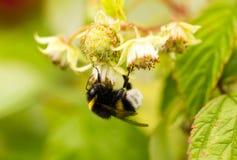 Una abeja en una flor en frambuesas Fotos de archivo libres de regalías
