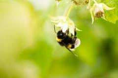 Una abeja en una flor en frambuesas Fotografía de archivo