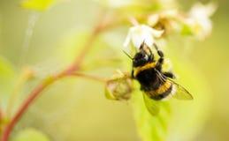Una abeja en una flor en frambuesas Imágenes de archivo libres de regalías